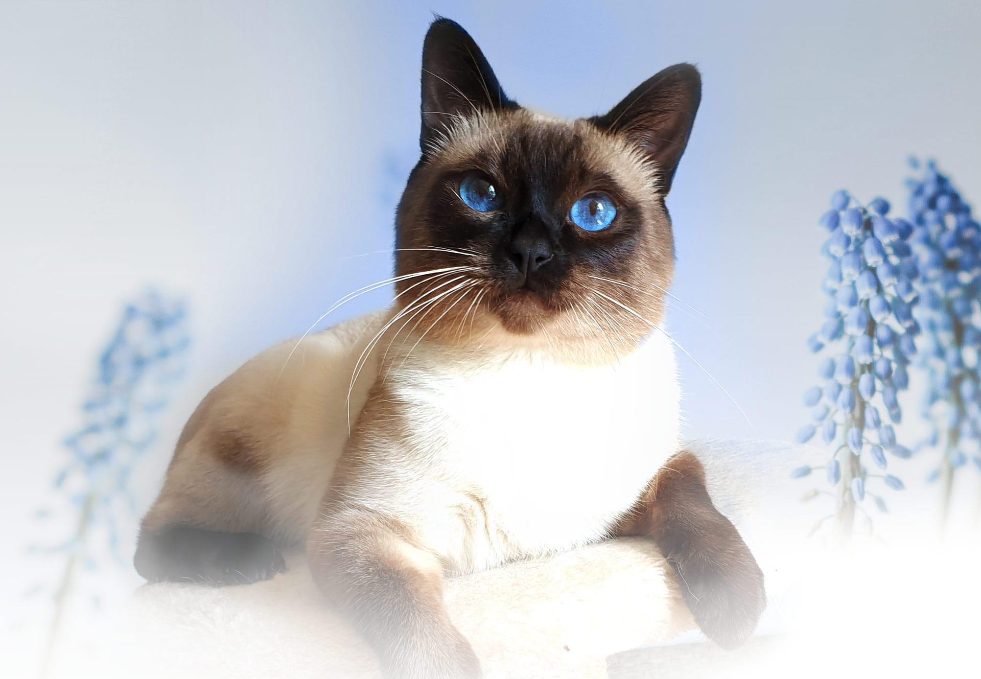 Smart Sara*PL – Hodowla Kotów Tajskich